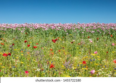 Meadow of breadseed and corn poppies, Germerode, Hesse, Germany