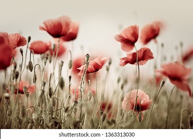 Meadow with bright red corn poppy flowers in spring