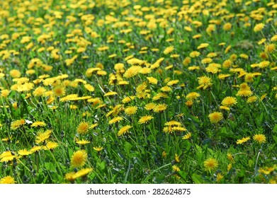 meadow of bright yellow dandilion flowers and foliage