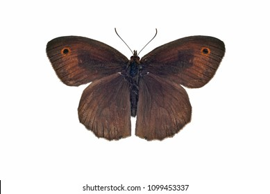 Meadow brown butterfly (male) isolated on white background