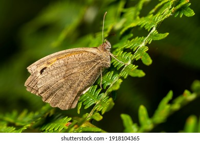Meadow Brown Butterfly (Maniola jurtina) with underside of wing a brown insect flying in spring stock photo image