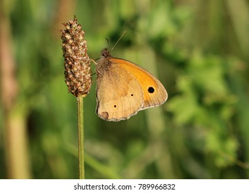 Meadow brown - Maniola jurtina