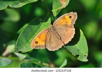 The meadow brown (Maniola jurtina) is a butterfly.