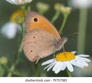 A Meadow Brown (Maniola jurtina) butterfly on a Camomile flower