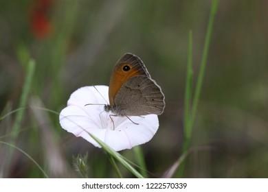 A meadow brown, Maniola jurtina, on a bindweed flower.
