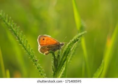 Meadow Brown motyl