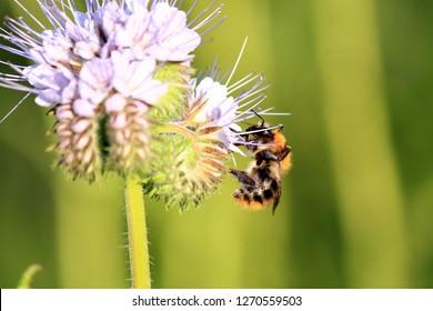 Meadow bumblebee on nectar search, Bombus pratorum
