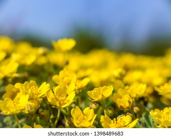 Meadow with bunch of yellow  anemone ranunculoide flowers