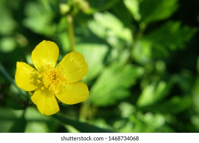 Meadow buttercup or tall buttercup or  common buttercup or giant buttercup (Ranunculus acris) yellow flower close up