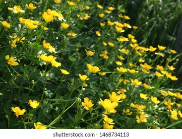 Meadow buttercup or tall buttercup or  common buttercup or giant buttercup (Ranunculus acris) yellow flowers