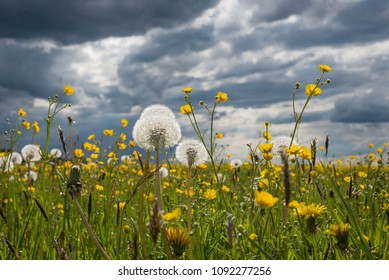 meadow with buttercups and blowballs, against dark grey thunder clouds