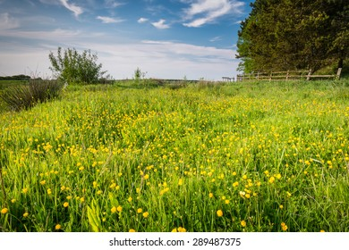 Meadow of Buttercups / Field of wild buttercups on the edge of farmland in Northumberland