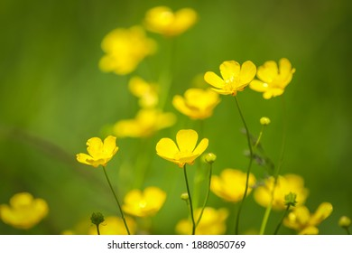 Meadow buttercups floral view with green natural background