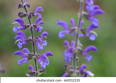 meadow clary or meadow sage flower, Salvia pratensis