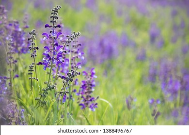 Meadow Clary, Meadow sage, Salvia pratensis. Beautiful purple flowers on wild meadow. Medicinal herb.