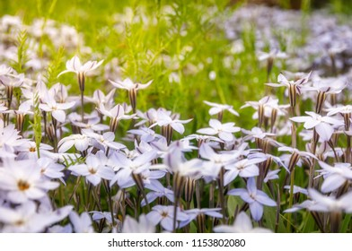 Meadow close-up with White Star Flowers at the Spring Festival - Floriade in Canberra in Australian Capital Territory.