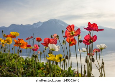 Meadow of colourful blossoming rose poppies (Papaver rhoeas) by the Alpine mountain lake