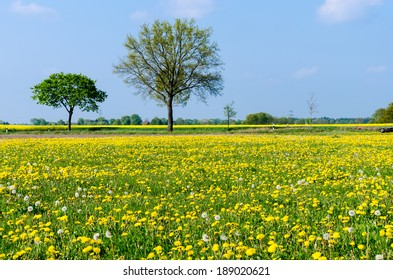 meadow with common dandelion flowers in bloom