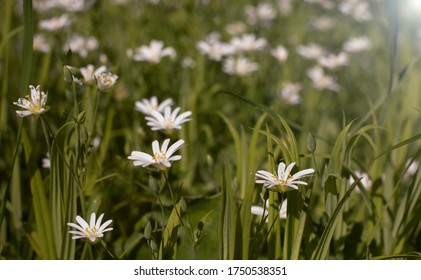 A meadow with common starwort (Stellaria graminea)  ad grass.