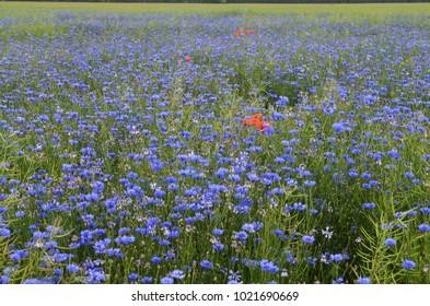 Meadow with cornflowers [Centaurea cyanus] and poppy [Papaver rhoeas]