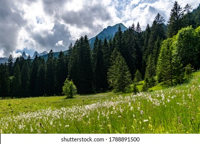 meadow with cotton grass in the foreground. Trees and forest in the background. contrasting view of the mountains in Vorarlberg, Austria. near from Schruns.