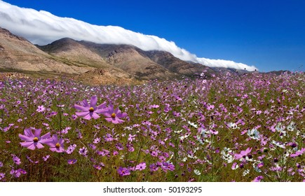 meadow covered in cosmos, a wildflower that covers the south african landscape in summer