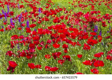 Meadow covered with flowers. Bright red poppies and purple bells on a background of green grass.