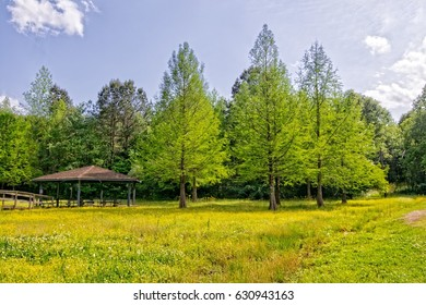 Meadow with cypress trees and yellow wildflowers