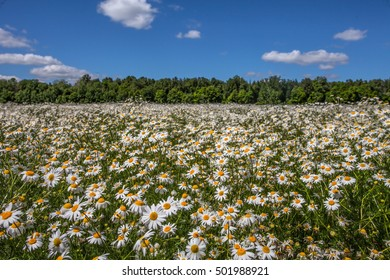 Meadow with daisies near the green forest on blue sky background