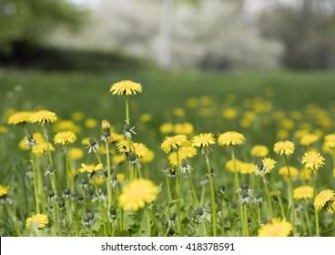 meadow dandelion flowers