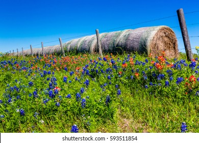 A Meadow at a Farm or Ranch with Dry Round Hay Bales of Texas Grasses used to Feed Cattle Near Various Fresh Texas Wildflowers in Spring, Including Indian Paintbrush and Texas Bluebonnets.