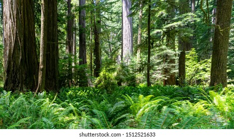 Meadow of Ferns in Northern California Redwood Forest - Jedediah Smith Redwoods State Park, California, USA