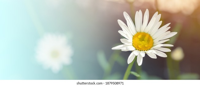 Meadow field of beautiful blossoming yellow and white chamomile flower dew drops at morning sunrise time. White daisy macro. Natural herbal medicinal camomile plant abstract wide panoramic background