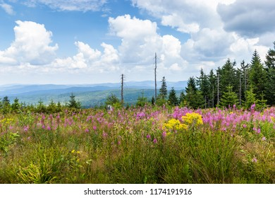 Meadow filled with wildflowers in the Bavarian Forest (Nationalpark Bayerischer Wald) - Sumava National Park.
