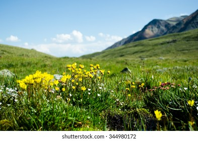 Meadow filled with yellow wild mountain flowers
