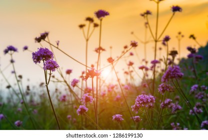 Meadow flower on the mountain with morning sun lighting.