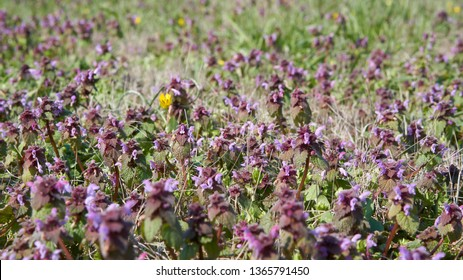 A meadow with flowering deadnettle on the banks of the river Elbe in spring