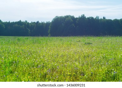 meadow with flowers of cornflowers and daisies on a sunny day, forest edge in a sultry haze in the background