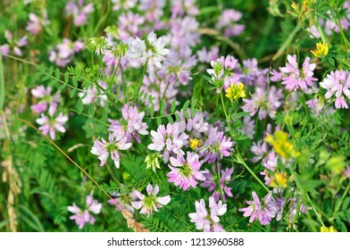 Meadow flowers, meadow herbs. Astragalus danicus, known as purple milk-vetch, is a species of flowering plant in the family Fabaceae.