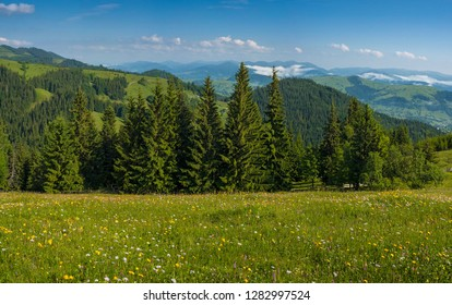 Meadow flowers and herbs bloom in the Carpathians against the backdrop of forests and mountains in the summer. Medicinal plant Arnica (Arnica montana) blooms in alpine meadow.