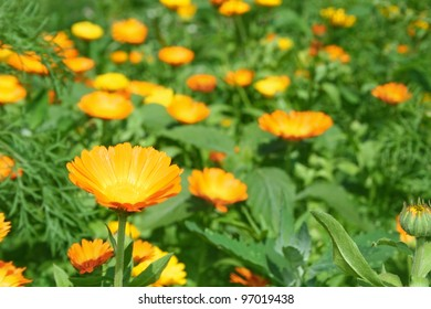 Meadow flowers marigold (calendula).