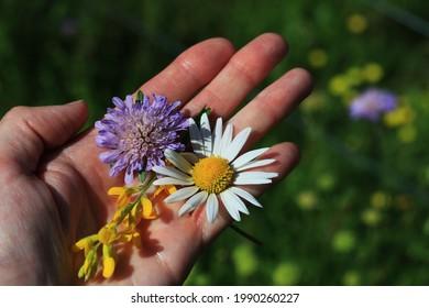 Wiesenblumen auf der Hand. Margueritblume, Feldskabiose, Knautia-Arvensis und Hornklee