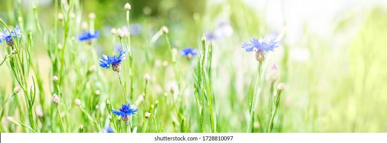 Meadow flowers on a sunny summer day. Purple cornflowers in a meadow.