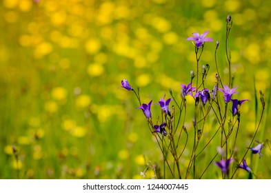 meadow flowers: purple campanula bellflower