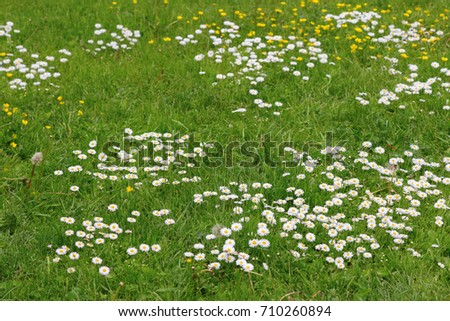 Meadow flowers white yellow flowers growing stock photo edit now meadow flowers white and yellow flowers growing on field many small chamomiles on lawn mightylinksfo