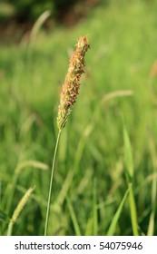 Meadow Foxtail with pollen, allergen causing hay fever
