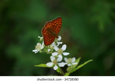 Meadow Fritillary Boloria bellona  butterfly isolated on green background