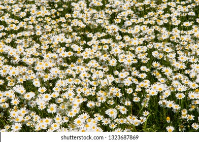 Meadow full of blooming marguerites, daisys