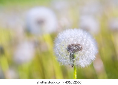 A meadow full of dandelions gone to seed
