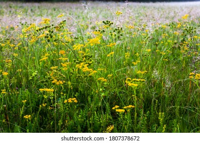 Meadow full of flowers at summer morning